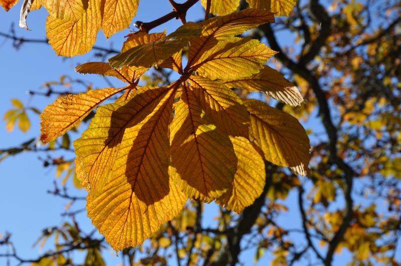 list kaštanu podzim